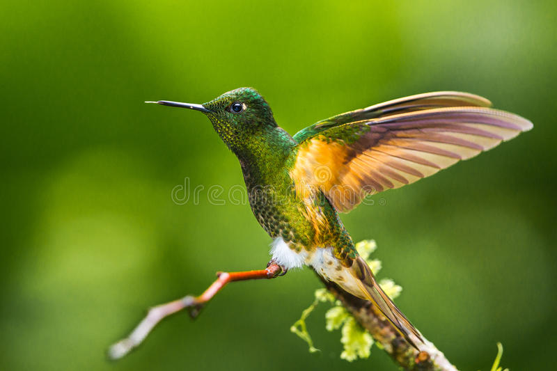 Buff Tailed Coronet royalty free stock photography