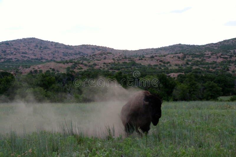 Buffalo époussettent  image stock