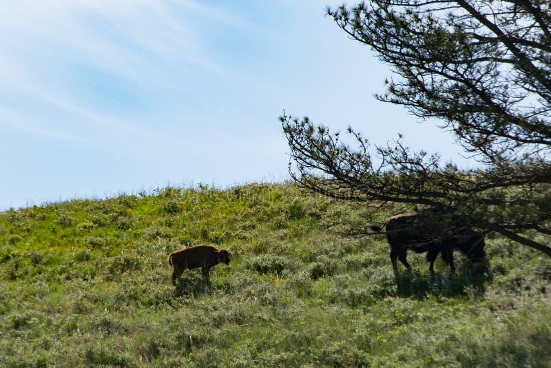 Buffalo μωρών με Momma στοκ εικόνες