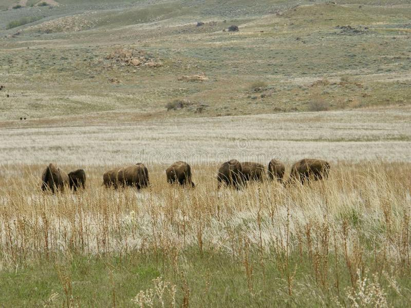 Buffalo που βόσκουν σε μια πεδιάδα στοκ φωτογραφίες με δικαίωμα ελεύθερης χρήσης
