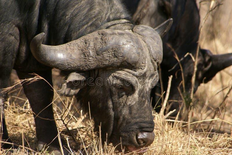 Buffalo fotografie stock libere da diritti