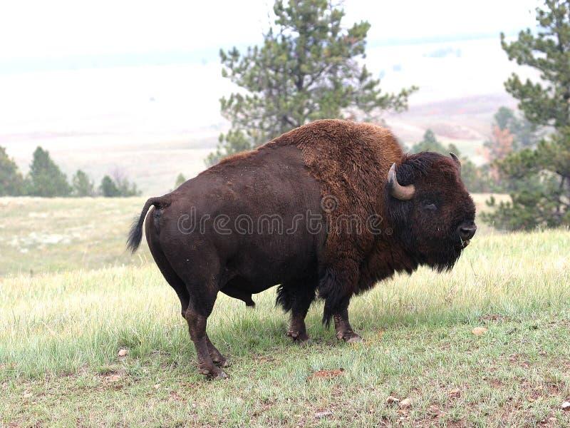 Buffalo image stock