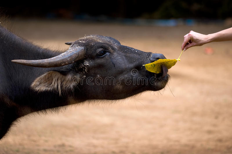 Download Buffalo stock photo. Image of leaf, eyes, feed, tall - 21303610