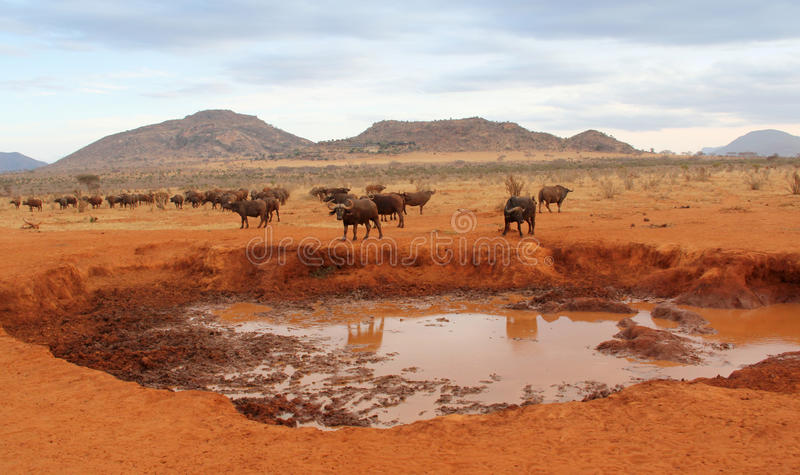 Download Buffalo stock image. Image of horns, bull, cattle, travel - 22697671
