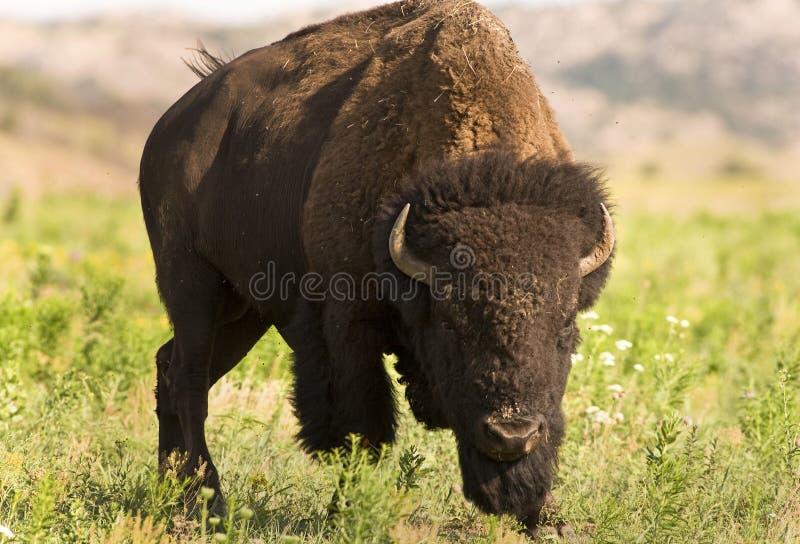 Download Buffalo. stock photo. Image of head, graze, field, mammal - 24781104