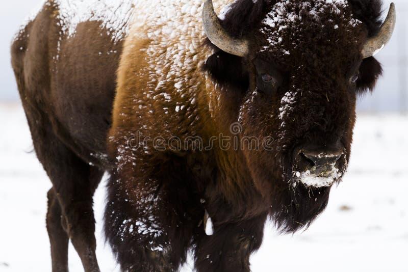 Buffalo στοκ εικόνες