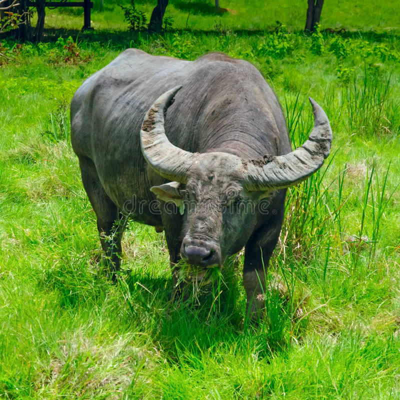 Buffalo στοκ εικόνα με δικαίωμα ελεύθερης χρήσης