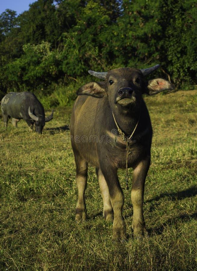Buffalo fotografie stock
