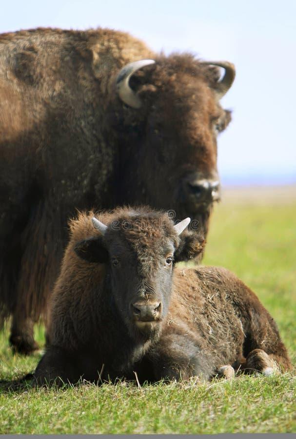 Buffalo immagini stock
