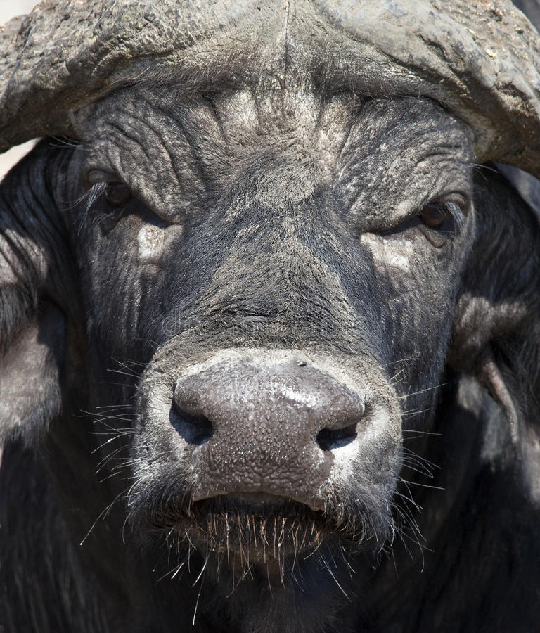 Buffalo africain - Botswana photos stock