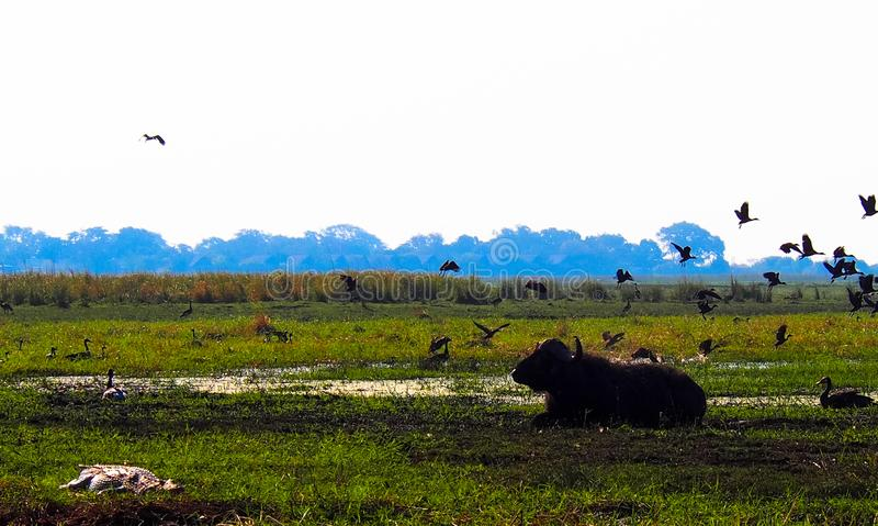 Buffalo africain se situant dans l'herbe tandis que les oiseaux volent image libre de droits