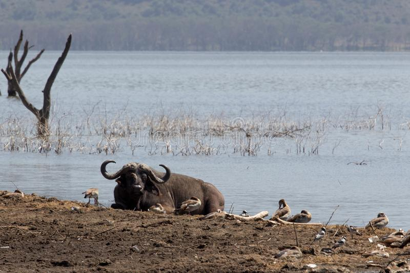 Buffalo africana alla riva del lago fotografia stock