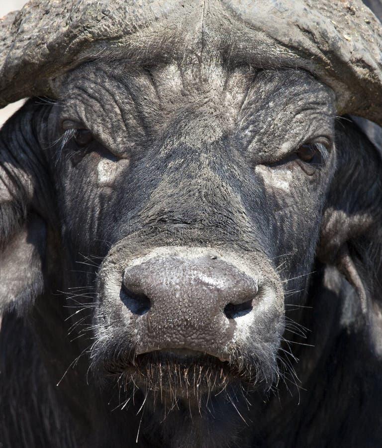 Buffalo africana - Botswana fotografie stock