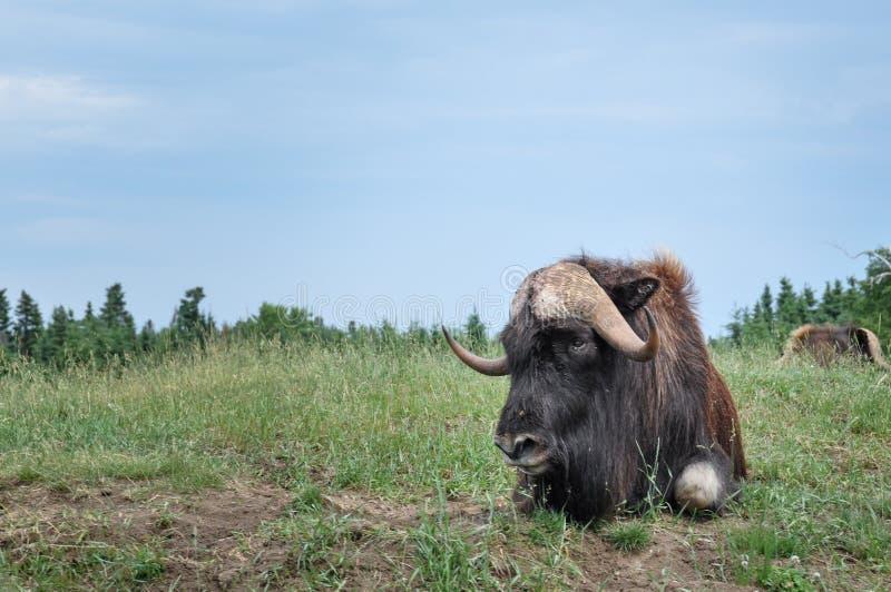 Buffalo alla st-Felicien dello zoo, Quebec, Canada immagini stock