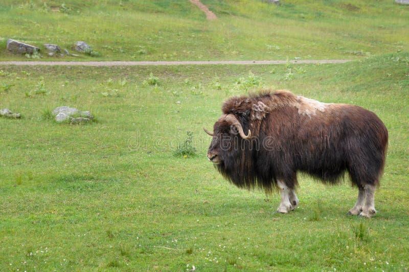 Buffalo alla st-Felicien dello zoo, Quebec, Canada immagine stock libera da diritti