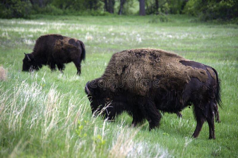 Buffalo américain en Custer State Park photo stock