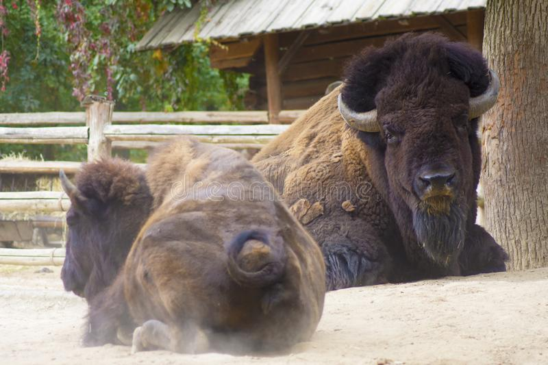 Buffalo or American Bison. Herd of American bison also commonly known as the American buffalo royalty free stock photo