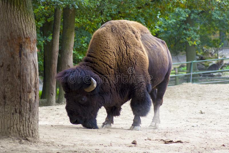 Buffalo or American Bison. Herd of American bison also commonly known as the American buffalo royalty free stock images