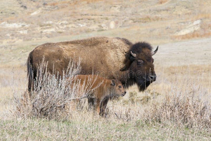 Buffalo avec le jeune veau sur la prairie photographie stock