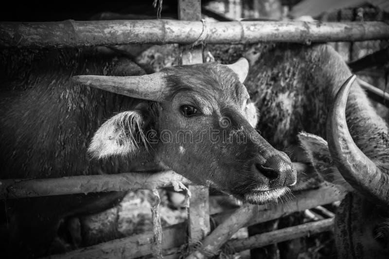 Buffalo avec le ton dramatique images libres de droits