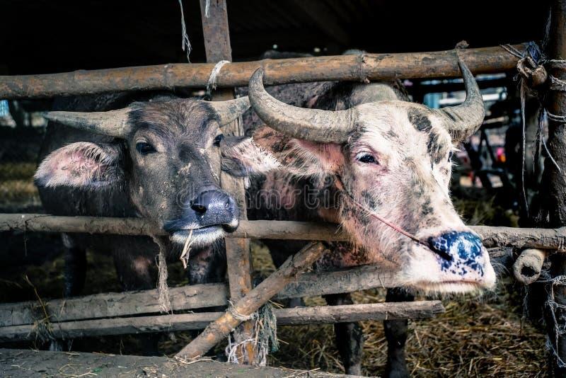 Buffalo avec le ton dramatique photographie stock