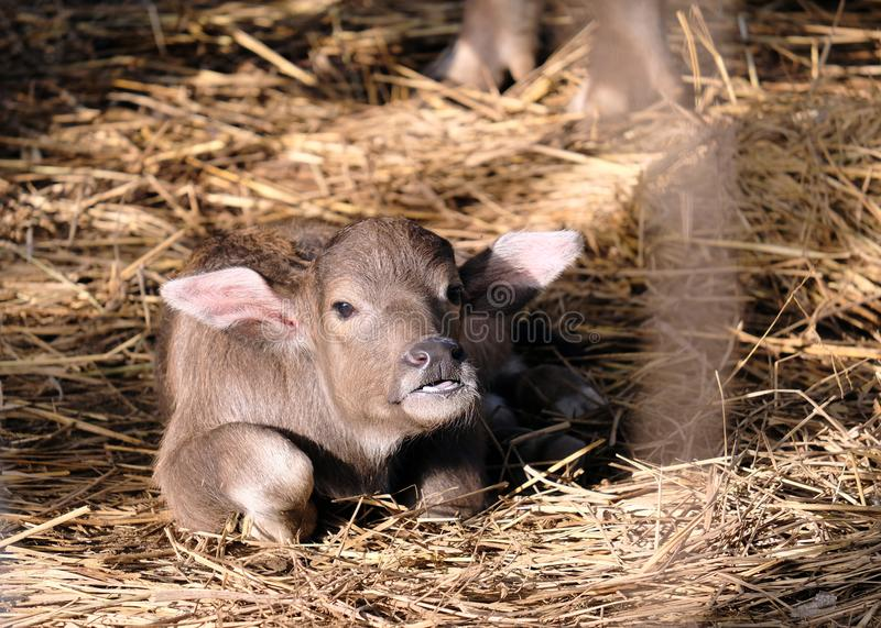Buffalo baby sleeps on the morning sun straw stock photo