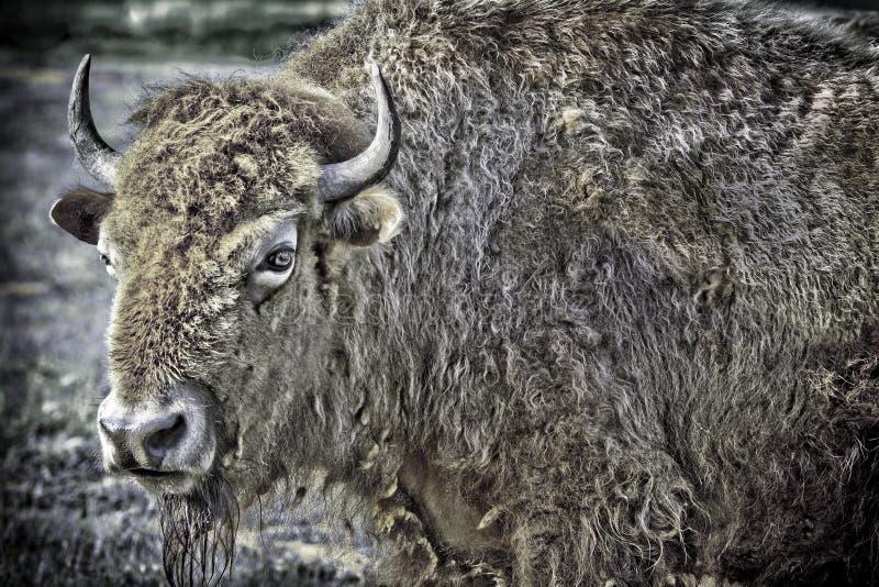 Buffalo bianca rara immagini stock libere da diritti