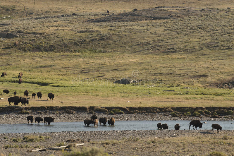 Buffalo Bison crossing a river in Lamar Valley Yellowstone stock image