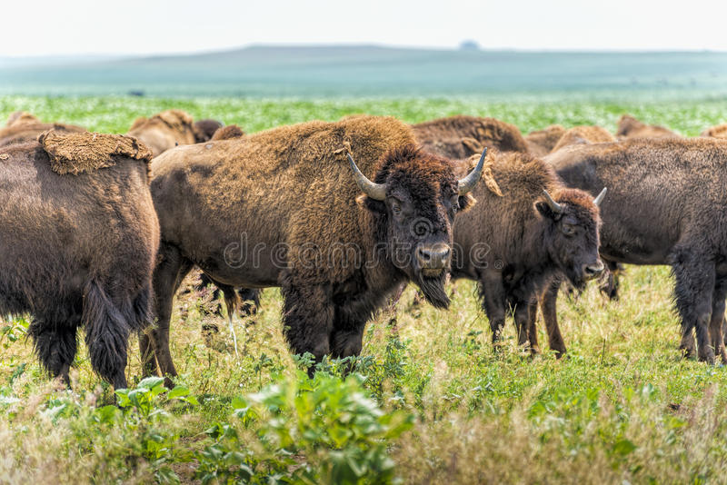 Buffalo (Bison) grazing on North Dakota prairie. Small remnants of what 150 years ago were vast herds covering square miles in North Dakota stock photo