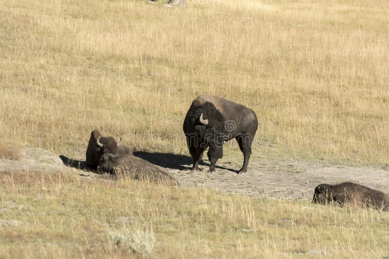 Buffalo Bison in Yellowstone National Park. At the parking are near the Harlequin Lake Trail Head on Rte 191. The American bison or simply bison, also commonly stock photos