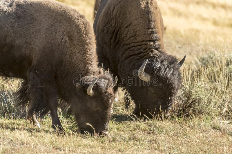 Buffalo Bison in Yellowstone National Park. At the parking are near the Harlequin Lake Trail Head on Rte 191. The American bison or simply bison, also commonly royalty free stock images