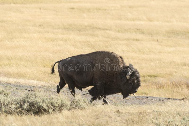 Buffalo Bison in Yellowstone National Park. At the parking are near the Harlequin Lake Trail Head on Rte 191. The American bison or simply bison, also commonly royalty free stock photos