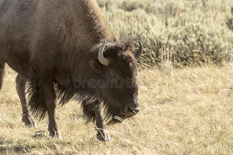 Buffalo Bison in Yellowstone National Park. At the parking are near the Harlequin Lake Trail Head on Rte 191. The American bison or simply bison, also commonly stock images