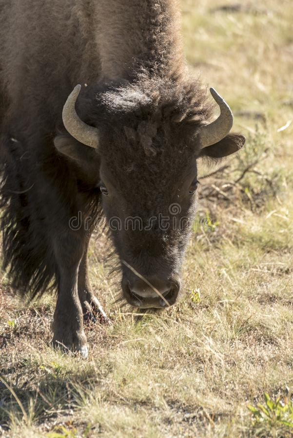 Buffalo Bison in Yellowstone National Park. At the parking are near the Harlequin Lake Trail Head on Rte 191. The American bison or simply bison, also commonly royalty free stock photography