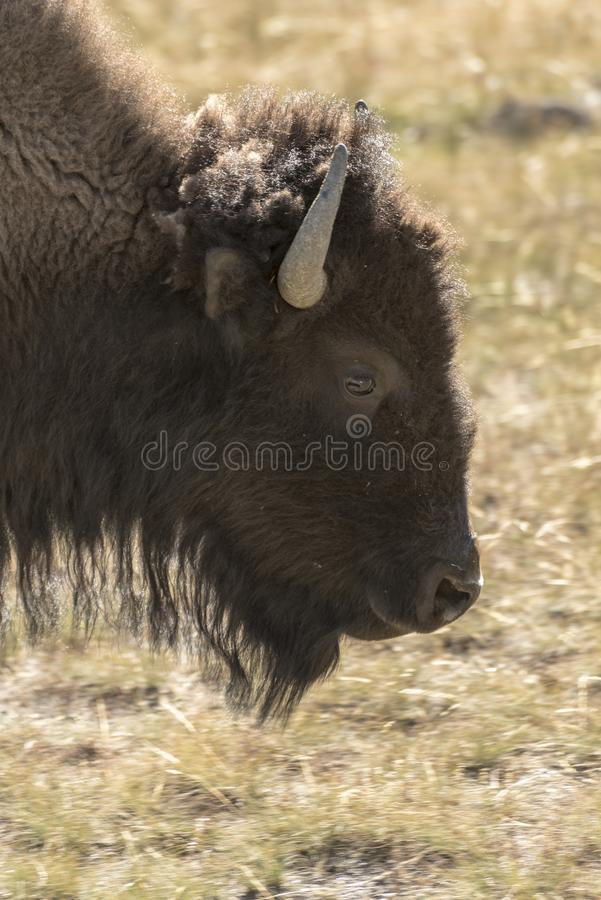 Buffalo (Bison) in Yellowstone National Park. Buffalo Bison in Yellowstone National Park at the parking are near the Harlequin Lake Trail Head on Rte royalty free stock photo