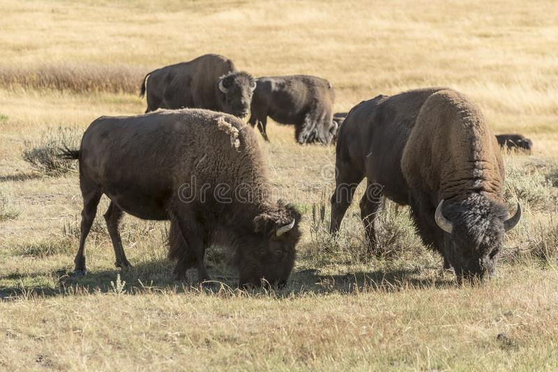 Buffalo Bison in Yellowstone National Park. At the parking are near the Harlequin Lake Trail Head on Rte 191. The American bison or simply bison, also commonly stock photo
