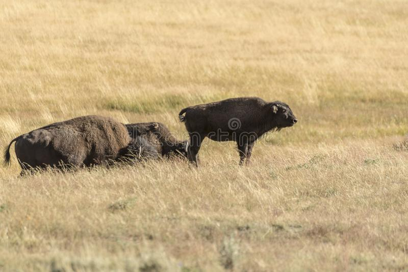 Buffalo Bison in Yellowstone National Park. A young buffalo Bison in Yellowstone National Park at the parking are near the Harlequin Lake Trail Head on Rte 191 stock image