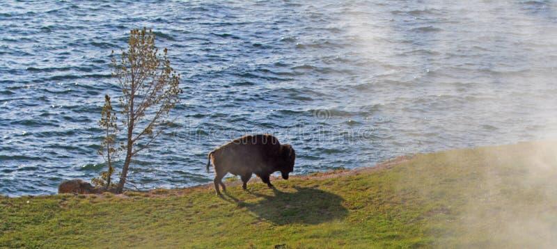 Buffalo Bull βισώνων που περπατά μετά από το βράσιμο στον ατμό των διεξόδων δίπλα στη λίμνη Yellowstone στο εθνικό πάρκο Yellowst στοκ εικόνες