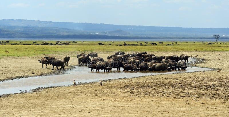 Download Buffalo stock photo. Image of fauna, themes, wild, animals - 39514134
