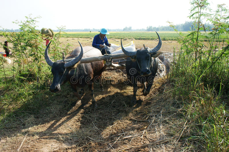 Download Buffalo Cart Transport Paddy In Rice Sack Editorial Photo - Image: 35341891