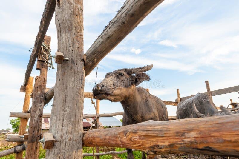 Buffalo cattlepen dedans images stock