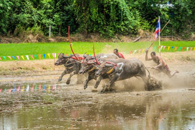 Buffalo che corrono sull'azienda agricola del riso immagini stock libere da diritti