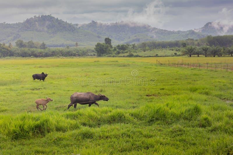 Buffalo che mangia erba nei campi fotografie stock