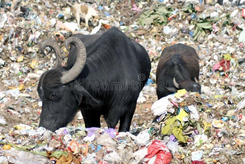 Buffalo che mangiano immondizia fotografia stock libera da diritti