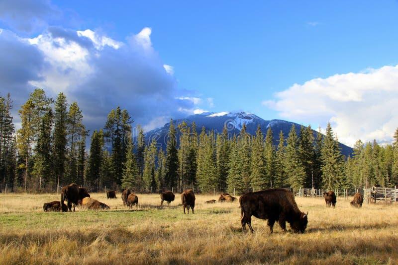 Buffalo che pasce sotto Rocky Mountains fotografia stock libera da diritti