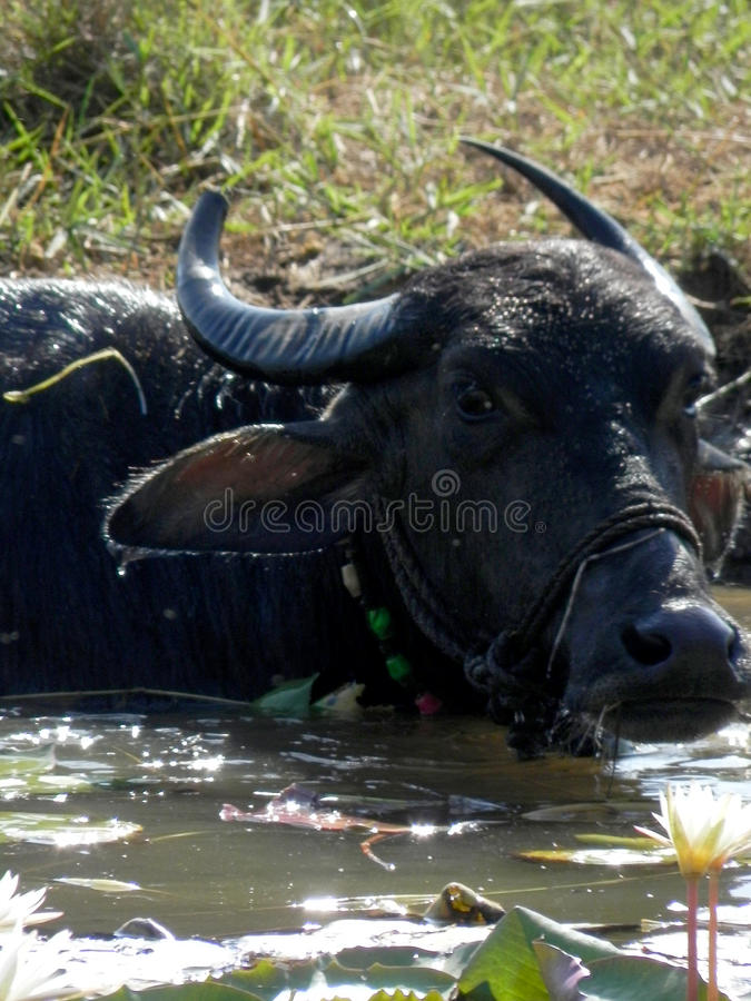Buffalo chilling in the hot sun-south-Goa-India. Over 40 degrees this Buffalo cools of in the local watering hole Paralim South Goa India royalty free stock photography