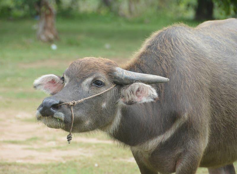 Buffalo d'eau noir asiatique au champ d'herbe images libres de droits