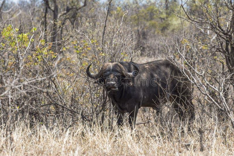 Buffalo dans l'herbe sèche du parc de Kruger, Afrique du Sud images libres de droits