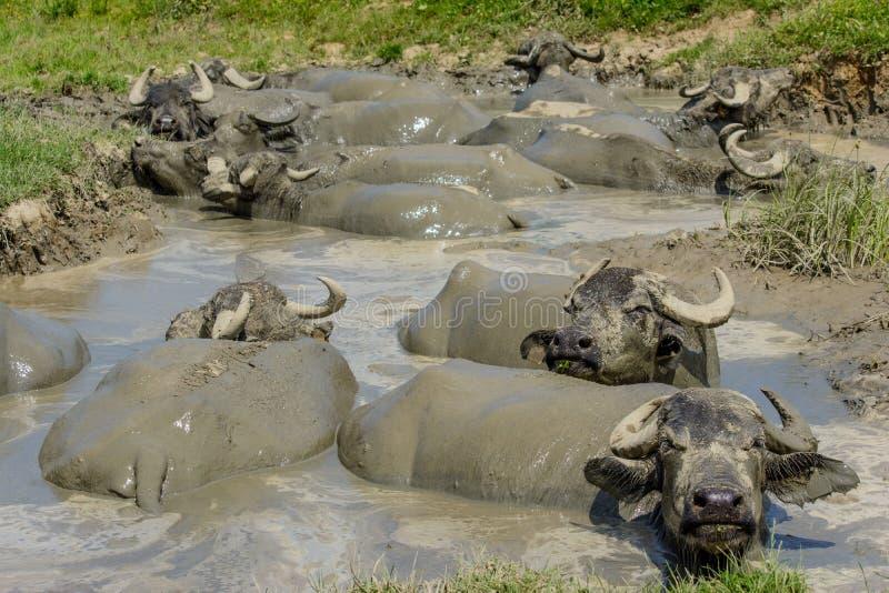 Buffalo dans la boue du village de Bazna, le comté de Sibiu, la Transylvanie, Roumanie photographie stock