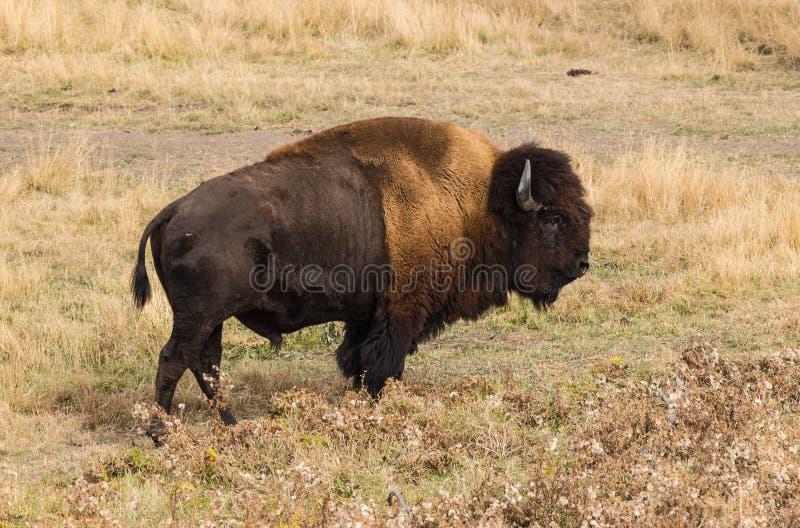 Buffalo de prairie, Alberta Canada images stock